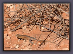 Common side blotched Lizard