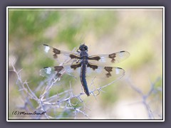 Stillwater National Whildlife Refuge - Eight Spotted Skimmer