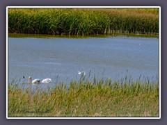 White Pelicans Stillwater Wildlife Refuge