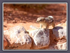 White Tailed Antelope Squirrel