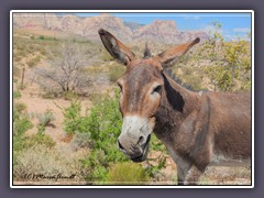 Wild Burro am Red Rock Canyon
