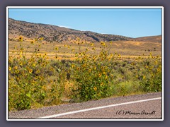 Wilde Sonnenblumen am Great Basin Highway 93