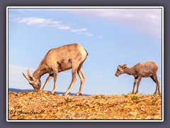 Bighorn Sheep - Wildlife