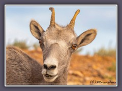 Bighorn Sheep - Wildlife - Pryor Mountains