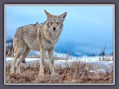Coyote  - Wildlife