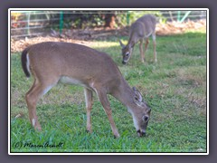 Florida Deer - Wildlife