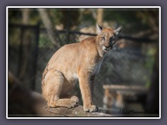 Florida Panther - Zoo