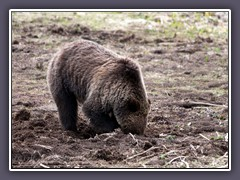 Grizzly - Wildlife