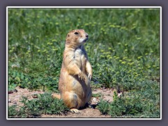 Prairie Dog - Wildlife