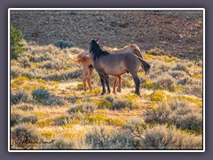 Pryor Mountains Wildhorses - Wildlife
