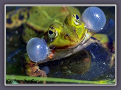 Teichfrosch - Wildlife