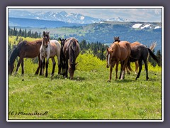 Wildhorses in Montana - Wildlife