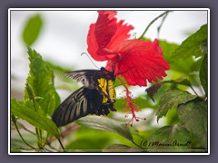 Golden Birdwing - Troides rhadamantus