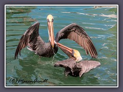 Brown Pelican - USA