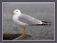 Ring Billed Seagull - USA