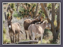 Las Vegas - Burros am Red Rock Canyon